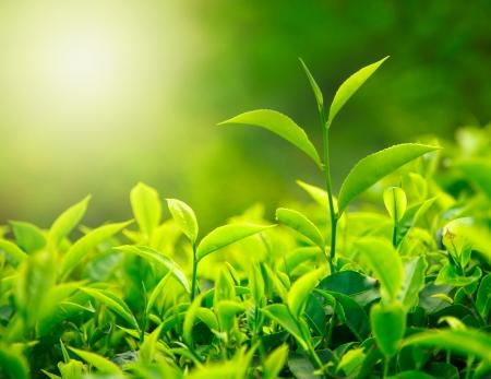 hojas de te: Yema de t� y hojas. Plantaciones de t�, Kerala, India Foto de archivo