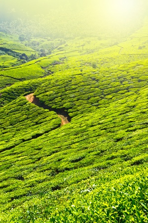 Tea plantations in morning fog. Munnar, Kerala, India photo