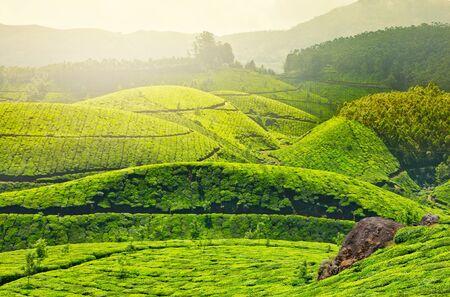 Plantaciones de té en la niebla de la mañana. Munnar, Kerala, India