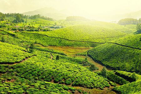 kerala: Tea plantations in morning fog. Munnar, Kerala, India