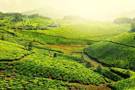 tea plantations: Tea plantations in morning fog. Munnar, Kerala, India