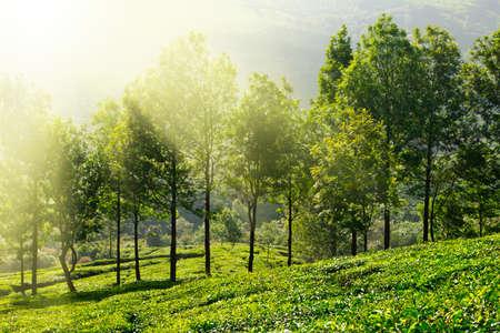 south india: Tea plantations in morning fog. Munnar, Kerala, India