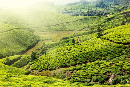 Tea plantations. Munnar, Kerala, India Stock Photo - 9091584