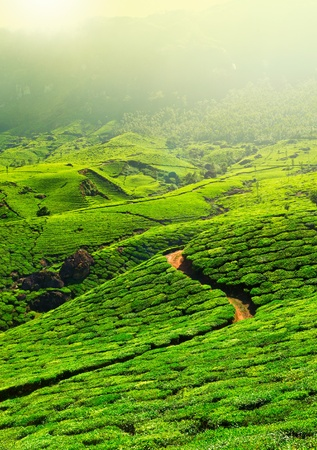tea plantation: Tea plantations in morning fog. Munnar, Kerala, India