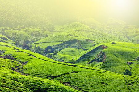 Tea plantations in morning fog. Munnar, Kerala, India Stock Photo - 9091582