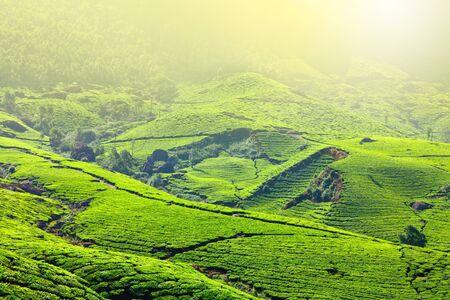cropland: Tea plantations in morning fog. Munnar, Kerala, India