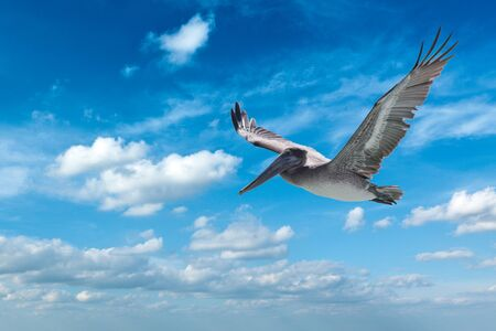 Flying brown pelican isolated on white background