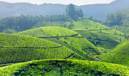 Tea plantations. Munnar, Kerala, India Stock Photo - 9246591