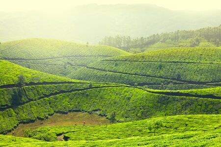 Tea plantations in morning fog. Munnar, Kerala, India Stock Photo - 9246588