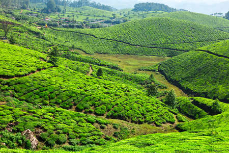 Tea plantations. Munnar, Kerala, India Stock Photo - 9246594