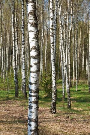 Birch grove in spring photo