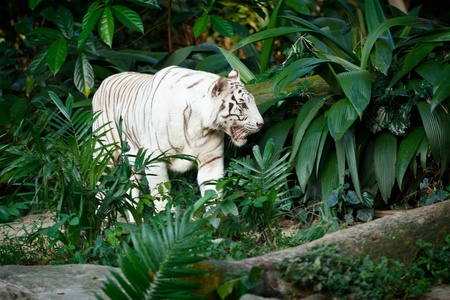 rain forest animal: White tiger in jungles