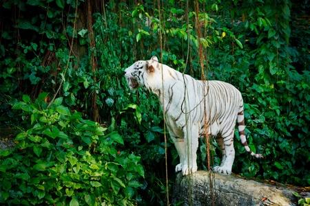tigre blanc: Tigre blanc dans les jungles Banque d'images
