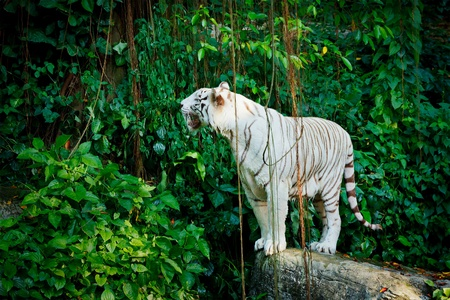 White tiger in jungles