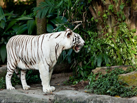 White tiger in jungles photo