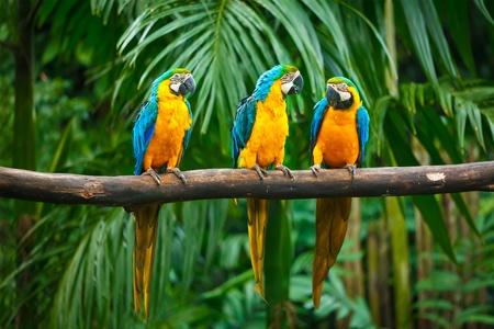 loro: Azul y amarillo (Ara ararauna), tambi�n conocido como el azul y oro Macaw