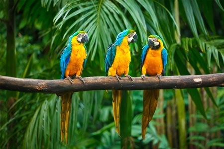 aves: Blue-and-Yellow Macaw (Ara ararauna), also known as the Blue-and-Gold Macaw Stock Photo