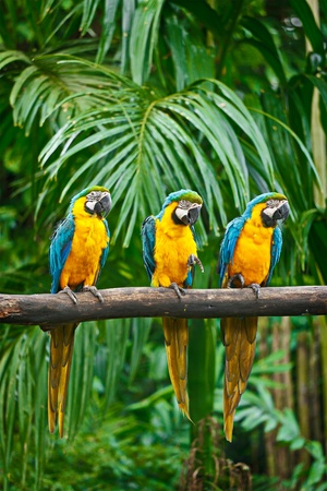 Blue-and-Yellow Macaw (Ara ararauna), also known as the Blue-and-Gold Macaw photo