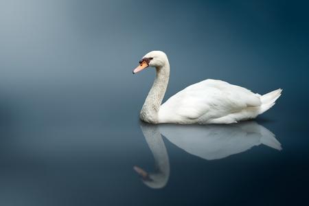 mute swan: Mute Swan (Cygnus olor)