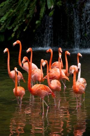 aves: American Flamingo (Phoenicopterus ruber), Orange flamingo