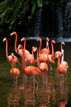 phoenicopterus: Americano Flamingo (Phoenicopterus ruber), Orange fenicottero