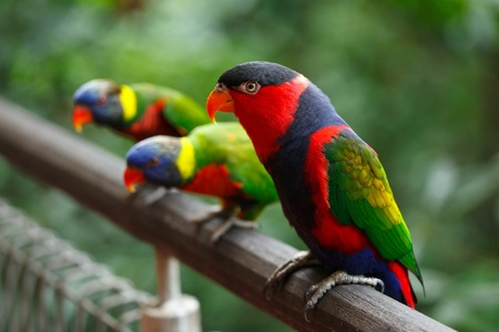 aves: Black-capped lories (Lorius lory) Stock Photo