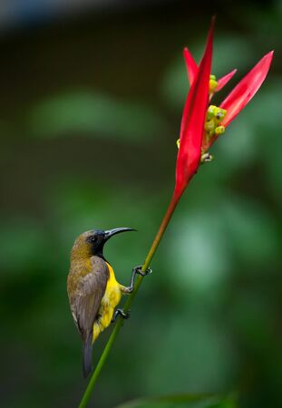 Olive-backed Sunbird ( Cinnyris jugularis ) on flower photo