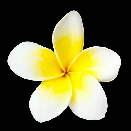 Frangipani flower on black background photo