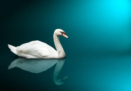 aves: Mute Swan (Cygnus olor)