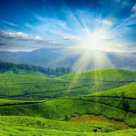tea crop: Tea plantations. Munnar, Kerala, India Stock Photo