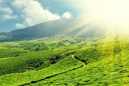 munnar: Tea plantations. Munnar, Kerala, India Stock Photo