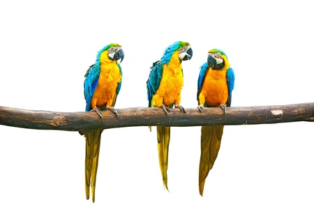 Blue-and-Yellow Macaw (Ara ararauna), also known as the Blue-and-Gold Macaw on branch isolated Stock Photo