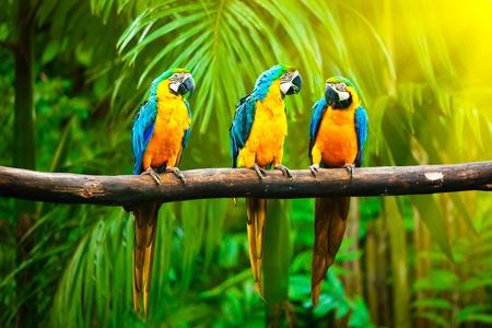 boom met vogels: Blauw-en-gele Ara (Ara ararauna), ook bekend als de Blue-and-Gold ara