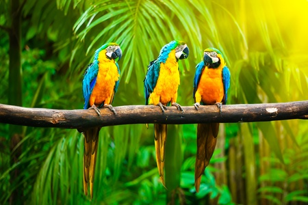 Blue-and-Yellow Macaw (Ara ararauna), also known as the Blue-and-Gold Macaw Stock Photo