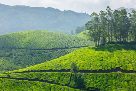 cropland: Tea plantations. Munnar, Kerala, India Stock Photo