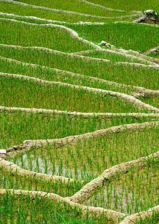 soil conservation: Rice field terraces (rice paddy) close up. Near Cat Cat village, near Sapa, Mui Ne Stock Photo