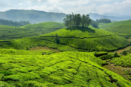 Tea plantations. Munnar, Kerala, India photo