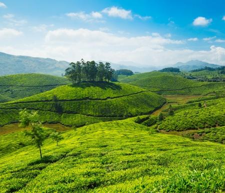 tea plantations: Tea plantations. Munnar, Kerala, India Stock Photo