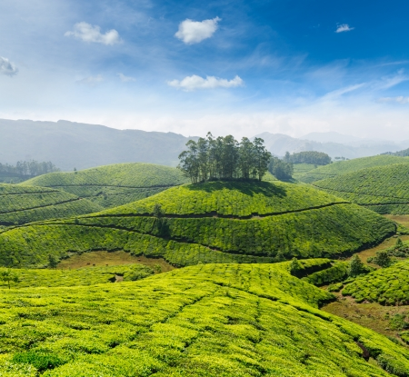 south india: Indian tea concept background - tea plantations. Munnar, Kerala, India
