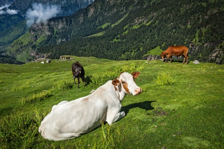 himachal pradesh: Serene peaceful landscape background - cows grazing on alpine meadow in Himalayas mountains. Himachal Pradesh, India