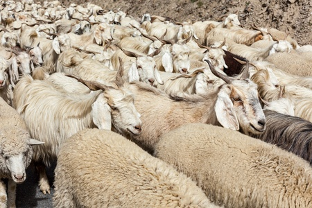 Herd of Pashmina sheep and goats in Himalayas. Himachal Pradesh, India photo