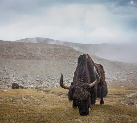 ladakh: Yak grazing in Himalayas. Ladakh, India Stock Photo