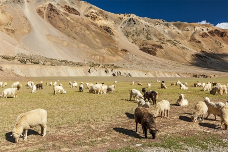 Herd of Pashmina sheep and goats grazing in Himalayas. Himachal Pradesh, India photo