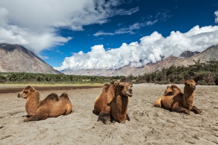 kashmir: Bactrian camels in Himalayas. Hunder village, Nubra Valley, Ladakh, Jammu and Kashmir, India