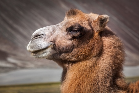 Bactrian camel portrait close up in Himalayas. Hunder village, Nubra Valley, Ladakh, Jammu and Kashmir, India photo