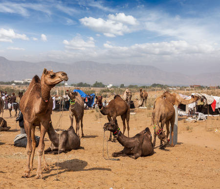 fairs: Camels at Pushkar Mela (Pushkar Camel Fair). Pushkar, Rajasthan, India