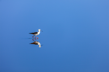 aloneness: Solitude concept background -  The Black-winged Stilt ( Common Stilt, or Pied Stilt (Himantopus himantopus)) in water with reflection Stock Photo
