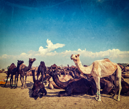 fairs: Vintage retro hipster style travel image of camels at Pushkar Mela (Pushkar Camel Fair) with grunge texture overlaid. Pushkar, Rajasthan, India Stock Photo