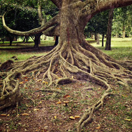 grunge tree: Vintage retro hipster style travel image of tropical tree roots with grunge texture overlaid. Sri Lanka