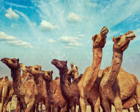 indian fair: Vintage retro hipster style travel image of camels at Pushkar Mela (Pushkar Camel Fair) with grunge texture overlaid. Pushkar, Rajasthan, India Stock Photo